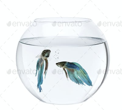 Blue Siamese fighting fish in fish bowl, Betta Splendens, in front of white background
