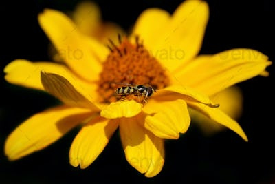 Daisy flower with a bee