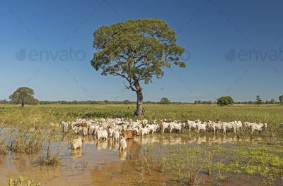 Cattle under a tree in the Pantanal
