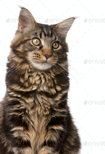 Maine Coon, 7 months old, sitting in front of white background, studio shot