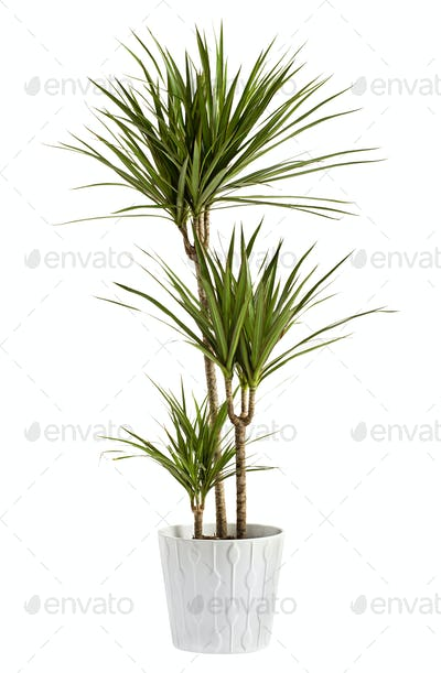 Yucca plant potted in a container