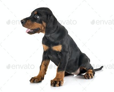 puppy Doberman Pinscher