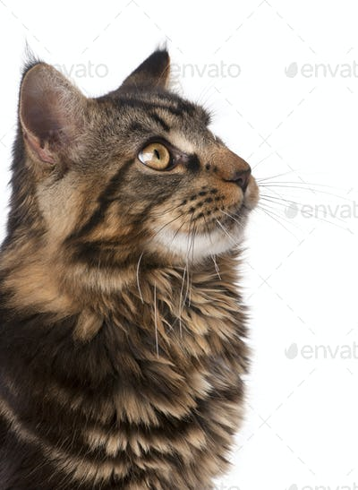 Close-up of Maine Coon, 7 months old, looking up in front of white background