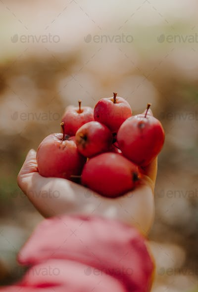 Woman holding bunch of red apples in hand