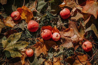 Red apples with yellow leaves on grass