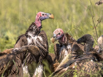 African vultures pack