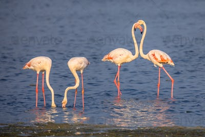 Four Flamingos foraging