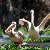 Two great white pelicans or Pelecanus onocrotalus