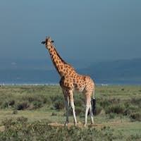 Ugandan giraffe ( Giraffa camelopardalis rothschildi