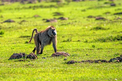 Baboon walks in green savannah in Africa