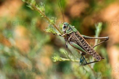 Wart-biter or Decticus verrucivorus on grass