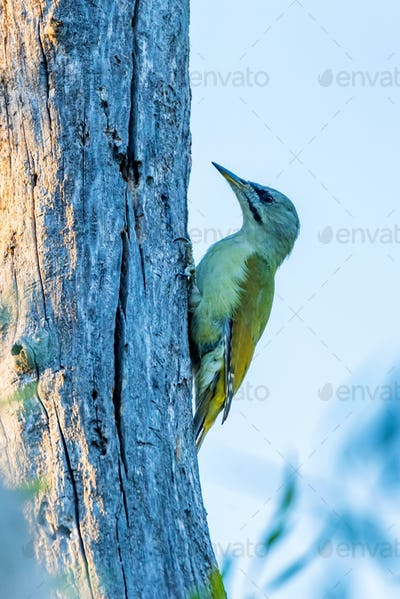 Female grey-headed woodpecker on tree trunk close