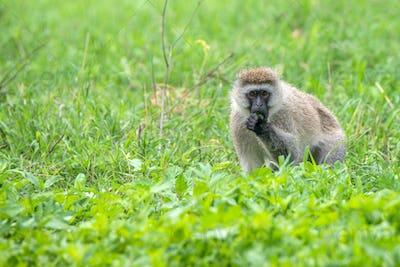 Vervet monkey or Chlorocebus pygerythrus