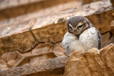 Spotted owlet or Athene brama