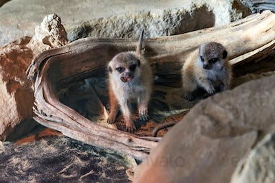 Young cute Meerkats or Suricata Suricatta in zoo