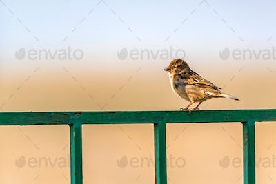 Portrait of a small house sparrow perching on metal gate