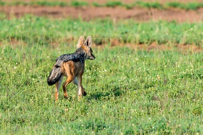Black-backed jackal or Canis mesomelas on grass