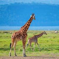 Wild Ugandan giraffe in savannah