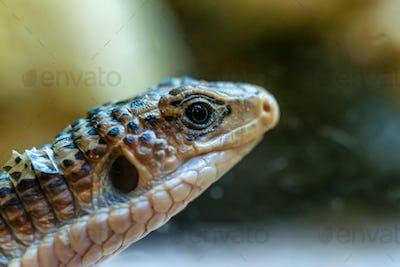 Close up head of Sudan plated lizard or Gerrhosaurus major