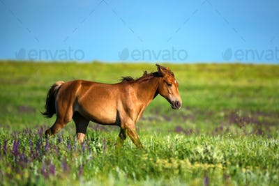 Foal of wild horses grazing on summer meadow