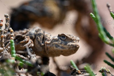 Close portrait of Phrynocephalus helioscopus agama in nature