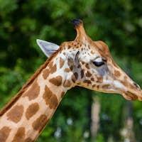 Close up head of Kordofan giraffe or camelopardalis antiquorum