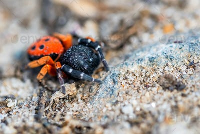 Ladybird spider or Eresus kollari close