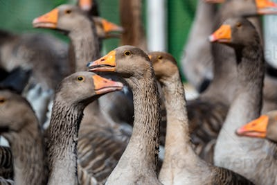 Domestic geese on traditional farm