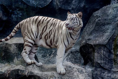 White tiger ( Panthera tigris