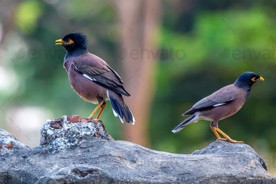 Two birds common myna or Acridotheres tristis