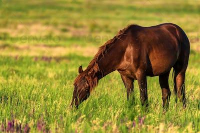 Wild horse grazes in the sunlit meadow