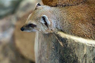 Yellow mongoose or Cynictis penicillata