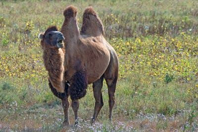 Surprised bactrian camel (Camelus bactrianus