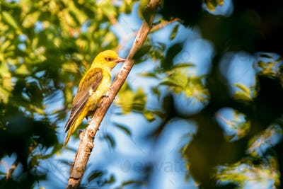 Young Eurasian Golden Oriole or Oriolus oriolus on tree branch