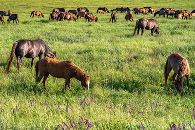 Wild horses grazing on summer meadow