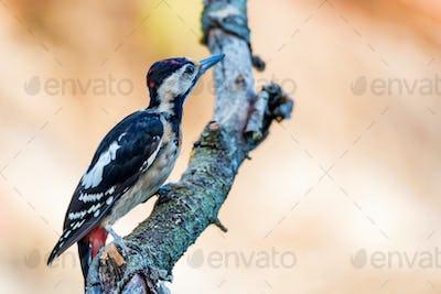 A Syrian woodpecker or Dendrocopos syriacus close