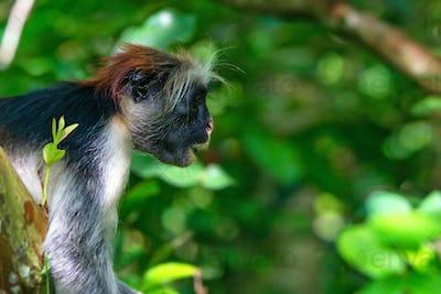 Zanzibar red colobus or Procolobus kirkii