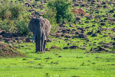 Browsing African elephant