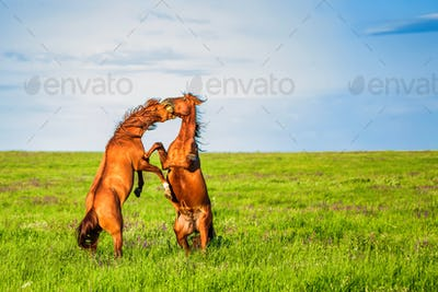 Fighting wild stallions on summer meadow