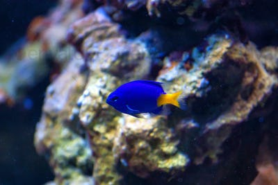 Yellowtail Damselfish or Chrysiptera parasema