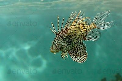 Scorpionfish in the sea