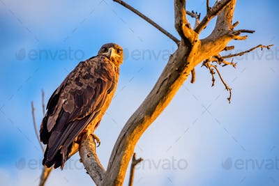 Steppe eagle or Aquila nipalensis sits on a tree