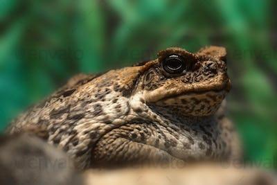 Cane toad or Rhinella marina close