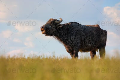 Asian water buffalo (Bubbalus bubbalis