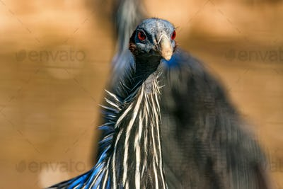 Vulturine guineafowl or Acryllium vulturinum in nature