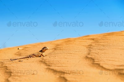 Spotted toad-headed Agama on sand close