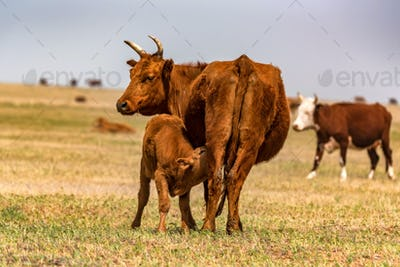 Young calf drinks milk from cow in field