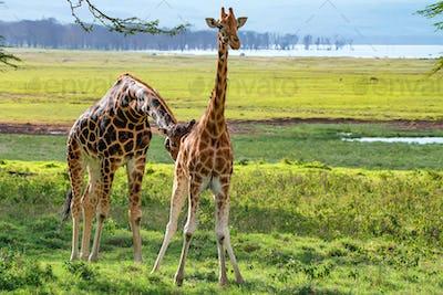 Pair of Ugandan giraffe browses in savannah