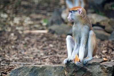 Patas Monkey or Erythrocebus patas eats bread in captivity
