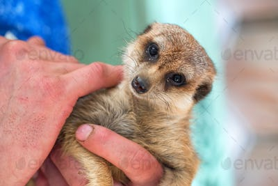 Portrait of domestic meerkat or Suricata suricatta in human hands